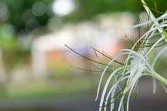 Littoralis hermosos Salisb de Hymenocallis fotos de archivo libres de regalías