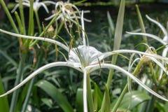 Littoralis Jacq van spin orchidee-Hymenocallis Scalisb Stock Afbeeldingen