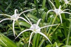 Littoralis Jacq van spin orchidee-Hymenocallis Scalisb Stock Fotografie