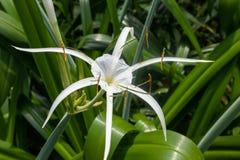 Littoralis Jacq van spin orchidee-Hymenocallis Scalisb Royalty-vrije Stock Afbeeldingen