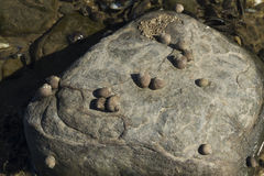 Littorina saxatilis, szorstki barwinek, łuskają przylegać skała Zdjęcia Royalty Free