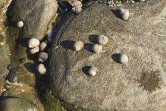 Littorina saxatilis, szorstki barwinek, łuskają przylegać skała Fotografia Stock