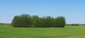Littte-Wald auf einem Feld des grünen Weizens Lizenzfreie Stockfotografie