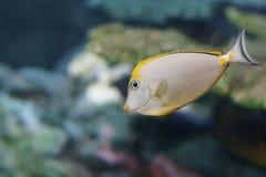 litulatus naso橙色脊椎unicornfish 免版税库存照片