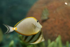 litulatus naso橙色脊椎unicornfish 库存照片