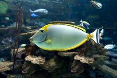 Lituratus Naso - barcheek unicornfish - θάλασσα και ωκεάνια τροπικά ψάρια Στοκ φωτογραφία με δικαίωμα ελεύθερης χρήσης