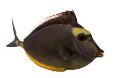 lituratus naso orangespine unicornfish 免版税库存照片
