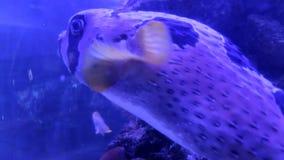 Liturosus de diodon de porcupinefish blotched par noir grand banque de vidéos