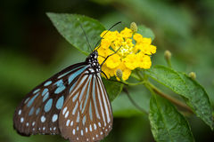 Liuchiou Blue Spotted Milkweed Butterfly Stock Photo