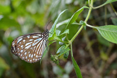 Liuchiou blue spotted milkweed butterfly, scientific name Radena similis similis Stock Photography
