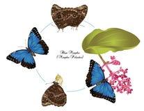 Liv av den blåa morphoen arkivfoto