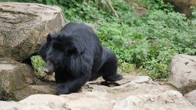 Liv av den svarta bj?rnen f?r djurlivasiat i skog stock video