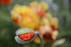 Liv av en vallmoblommaapelsin rynkade kronblad som veckla upp från knoppen Arkivbilder