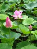Liv av Lotus Flower: från knoppen som ska kärnas ur Royaltyfri Fotografi