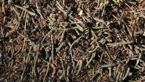 Liv av myrakullen med massor av myror rörelse stock video