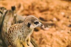 Liv av suricates i en fångenskap Royaltyfri Bild