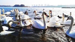 Liv av vattenfåglar i det löst arkivbilder