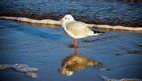 Liv för Seagullfoderdjurliv arkivbild