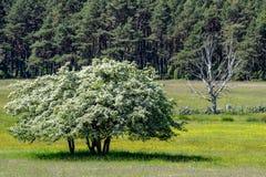 Liv och död: ett blomstra och vissna träd royaltyfri fotografi