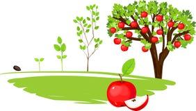 Livcirkulering av äppleträdet Arkivbild