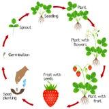 Livcirkulering av en jordgubbeväxt på en vit bakgrund stock illustrationer