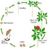 Livcirkulering av en växt för ginsengPanax ginseng på en vit bakgrund vektor illustrationer