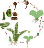 Livcirkulering av ormbunken Växtlivcirkulering med alternation av diploida sporophytic och haploid gametophytic faser Arkivfoton