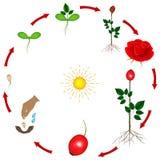 Livcirkuleringen av en rosväxt på en vit bakgrund Royaltyfri Foto