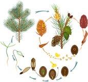 Livcirkuleringen av sörjer trädet: reproduktion av gymnosperms stock illustrationer