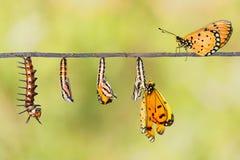 Livcirkuleringen av Tawny Coster omformar från larv till butterf royaltyfri foto