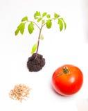 Livcirkuleringen av växten Arkivbild