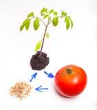 Livcirkuleringen av växten Arkivfoto