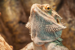 Live agama lizard Stock Photo