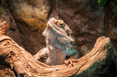 Live agama lizard Royalty Free Stock Photography