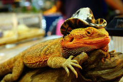 Live agama lizard is wearing a cowboy hat Stock Photos