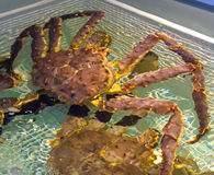 Live Alaskan Crabs Fotografía de archivo libre de regalías