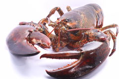 Live American Lobster with claws clearly showed Royalty Free Stock Images