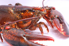 Live American Lobster close up Royalty Free Stock Photos