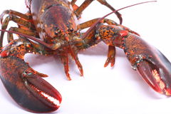 Live American Lobster close up from the front Stock Image