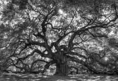 Live Angle Oak Tree Royalty Free Stock Images