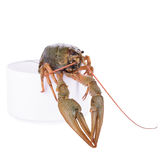Live animal crawfish Stock Photo