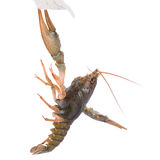 Live animal crawfishes Royalty Free Stock Photo