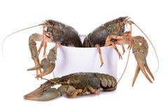Live animal crawfishes Stock Image