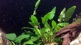 Live aquarium green plants. Underwater anubias plant in fish tank. Aquarium equipment stock video