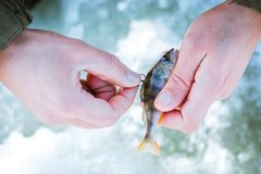 Live bait on the hook in the fisherman's hand, winter fishing. royalty free stock image