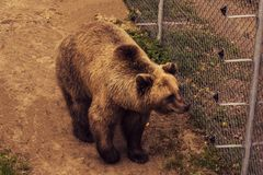 Live bear behind grids of a cage. Grizly walking at ground. Sad brown bear in captivity royalty free stock image