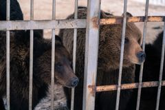 Live bears behind grids of a cage Stock Images