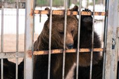 Live bears behind grids of a cage Royalty Free Stock Photo