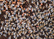 Live bees on the honeycomb stock images