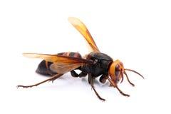 Live big hornet. On white background Stock Photo